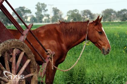 Village Horse